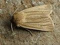 Mythimna impura - Smoky wainscot - Полосатая совка буровато-серая (40366166824).jpg