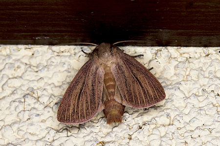 Mythimna pudorina, Lodz(Poland)01(js).jpg