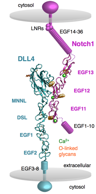 Notch signaling pathway - Crystal structure of the Notch1-DLL4 complex depicted as the interaction is predicted to occur between two cells (PDB ID: 4XLW)