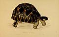 N36 Sowerby & Lear 1872 (astrochelys radiata).jpg