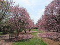 National Arboretum in April (23277777960).jpg