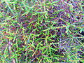 Native currant (Acrotriche depressa).JPG