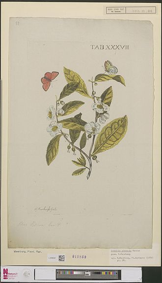 Hella Haasse - N. Meerburgh: Tea Camellia sinensis Kuntze, 1789, used a bookcover for The Tea Lords