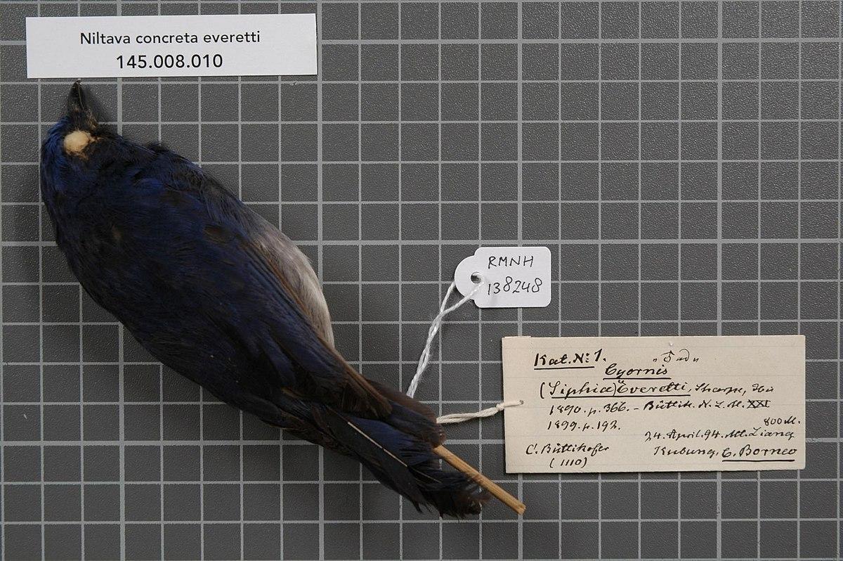 White-tailed flycatcher - Wikipedia
