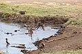 Nature of Ngorongoro Conservation Area (103).jpg