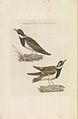 Nederlandsche vogelen (KB) - Charadrius hiaticula (265pl).jpg