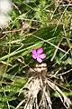 Nelke auf Kalkboden am Simmelsberg, Hessische Rhön.jpg