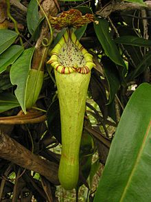 Nepenthes boschiana1.jpg