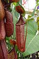 Nepenthes maxima × sanguinea (2943627683).jpg
