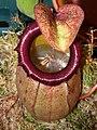 Nepenthes sibuyanensis.jpg
