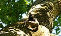 Nest defender - Strajerul cuibului - panoramio.jpg