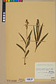 Neuchâtel Herbarium - Cephalanthera rubra - NEU000046820.jpg