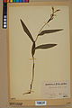 Neuchâtel Herbarium - Cephalanthera rubra - NEU000046838.jpg