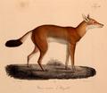 Neue Wirbelthiere zu der Fauna von Abyssinien gehörig (1835) Canis simensis.png