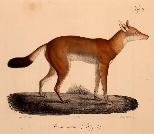 Neue Wirbelthiere zu der Fauna von Abyssinien gehörig (1835) Canis simensis