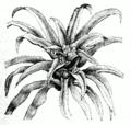 Nidularium sp.png