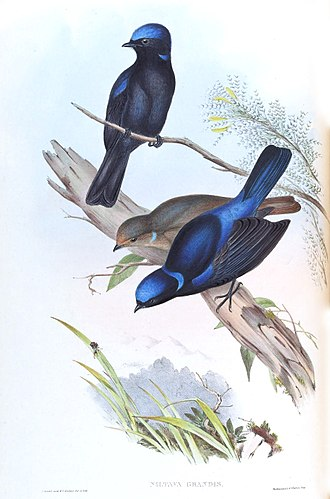 Henry Constantine Richter - Large Niltava Niltava grandis, date between 1850 and 1883, The Birds of Asia, Volume 2, J.Gould and H.C. Richter