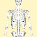 Ninth rib frontal2.png