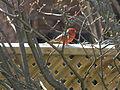 Northern Cardinal1.JPG