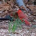 Northern Cardinals (5624155548).jpg