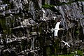Northern Gannets St Mary Cape Newfoundland (41321336982).jpg