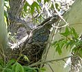 Northern Goshawk on Nest. Accipiter gentilis - Flickr - gailhampshire.jpg