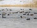 Northern Shoveler (Anas clypeata), Red-crested Pochard (Netta rufina), Mallard (Anas platyrhynchos), Common Pochard (Aythya ferina) & Eurasian Coot (Fulica atra) (39661401083).jpg