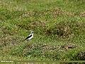 Northern Wheatear (Oenanthe oenanthe) (29062387170).jpg