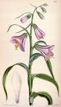 Notholirion macrophyllum