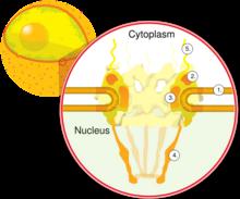 Schéma des pores nucléaires