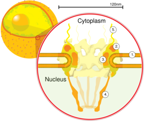 Nuclear pore - Nuclear pore. Side view. 1. Nuclear envelope. 2. Outer ring. 3. Spokes. 4. Basket. 5. Filaments. (Drawing is based on electron microscopy images)