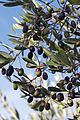 Olives (CAILLETIER) CL. J Weber (5) (22852505490).jpg
