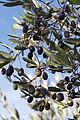 Olives (CAILLETIER) CL. J Weber (5) (22852505490).jpg