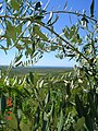Olives (Medulin) - panoramio.jpg