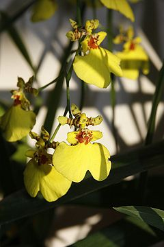 Oncidium yellow.jpg