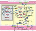 One-carbon metabolism and the transsulfuration pathway.jpg