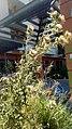 Onopordum acanthium - γαϊδουράγκαθο.jpg