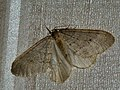 Operophtera fagata ♂ - Northern winter moth (male) - Пяденица зимняя (самец) (27085793598).jpg