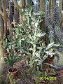 Opuntia species (3421828025).jpg