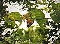 Orange-breasted Fig Parrot. Cyclopsitta gulielmitterti (48807391283).jpg