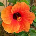 Orange Hibiscus (5695805260).jpg