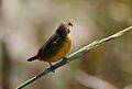 Orange breasted waxbill, Amandava subflava, at Suikerbosrand Nature Reserve, Gauteng, South Africa (25885989576).jpg