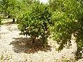 Orangen Mallorca 2008 1.JPG