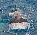Orca (8389180508).jpg