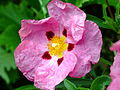 Orchid Rock-Rose (2538496251).jpg