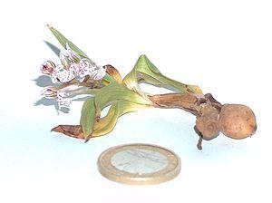 Orchidaceae - Anacamptis lactea showing the two tubers