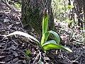 Orchis purpurea sl51.jpg