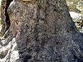 Oriental plane trees, Saimbeyli 03.JPG