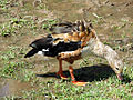 Orinoco Goose 2.jpg