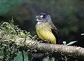 Ornate flycatcher (40875321953).jpg